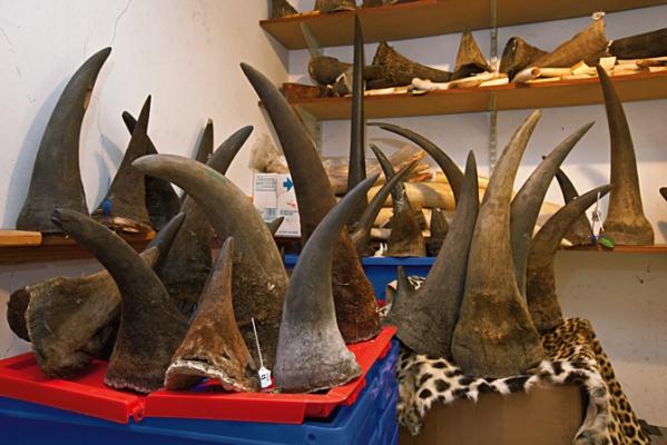 Ambiente e commercio: vendita corna di rinoceronte Sudafrica